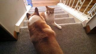 Hammy Corgi Stair Play Fight With Liono (Njerseyone)