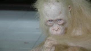 Orangutana albina enfrenta futuro incierto