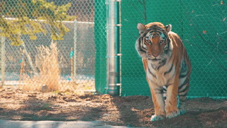 The Edge, New Tiger Exhibit, Roars Into the Denver Zoo
