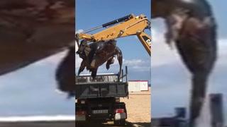 Hallan una enorme tortuga de 700 kilos en una playa española