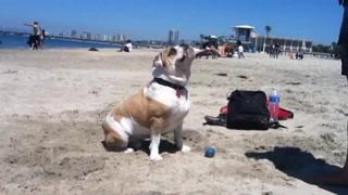 English Bulldog Beach Tricks