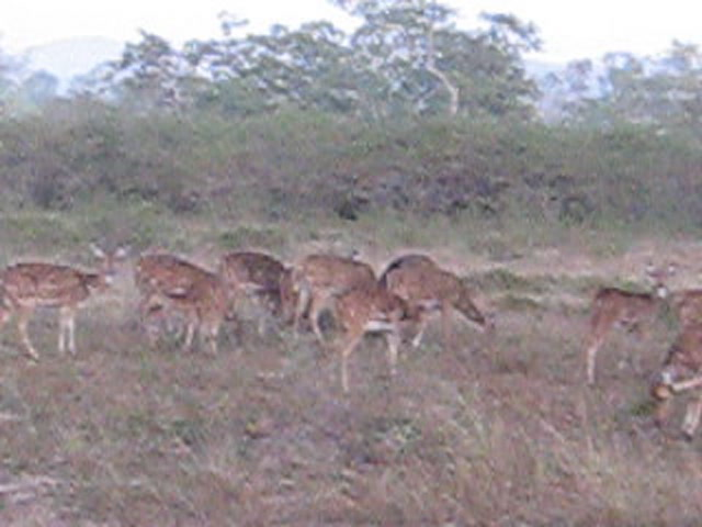 Bandipur National Park Videos-spotted deer