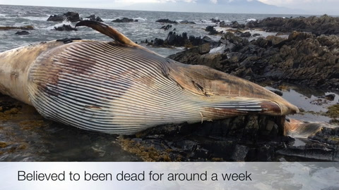 Video: Minke whale washes up in Co Down