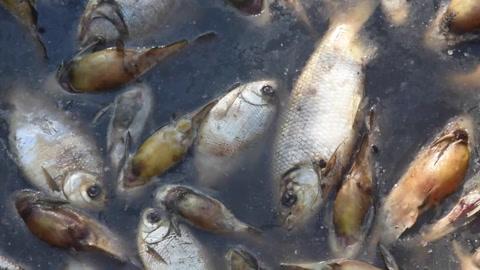 Investigan masiva mortandad de peces en río de Paraguay