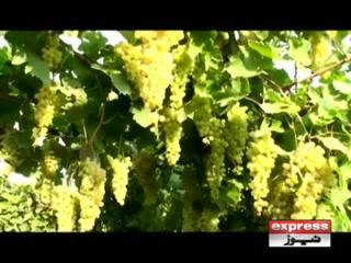 پاکستان میں انگور کی 50 سے زاید اقسام کی کاشت کا کامیاب تجربہ