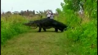 Sorprende cocodrilo gigante de Florida