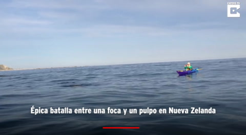 Épica batalla entre una foca y un pulpo en Nueva Zelanda