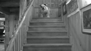 Our English Bulldog Is Afraid Of Going Down The Stairs