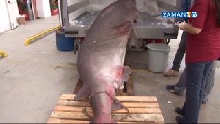 Son 10 yılda yakalanan en büyük köpekbalığı