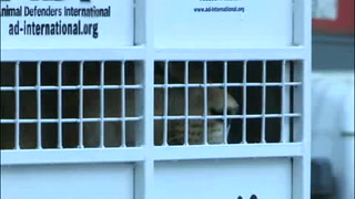 Sudáfrica recibirá leones rescatados de circos en Perú y Colombia
