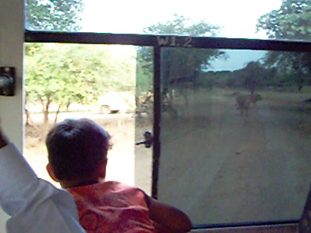 Sasan gir Videos-Lions in Sasan Gir - must see