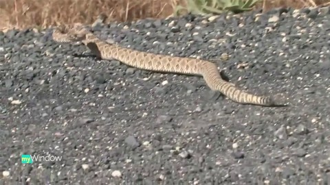 Dogs and rattlesnakes…could be a deadly combo