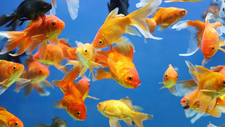 Pet Fish - Great Names and Fun Facts