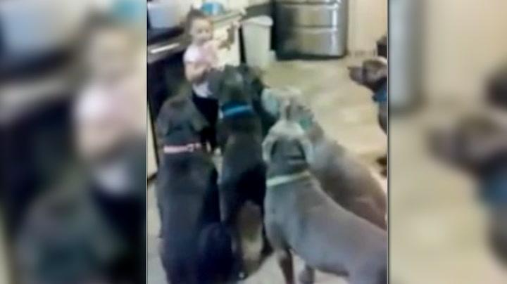 4-åring herser med flokken av sultne, forbudte hunder