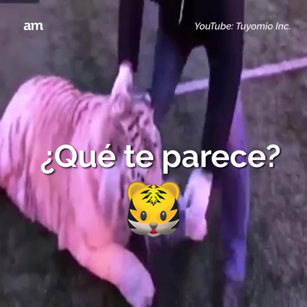 Tigre futbolista