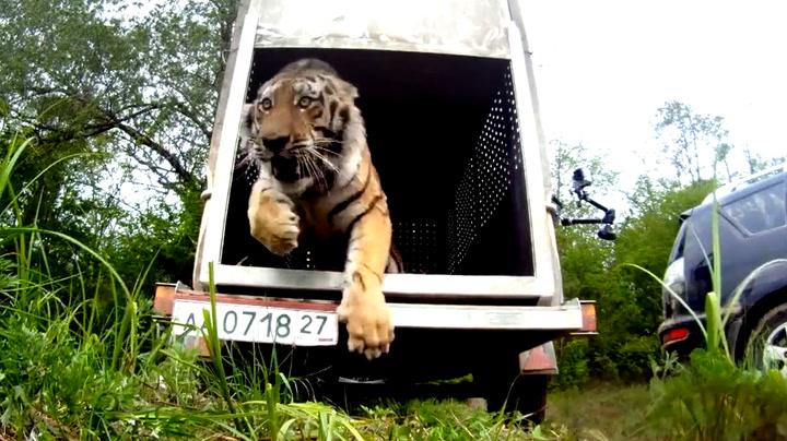 Tigeren «Sta» fikk en ny sjanse