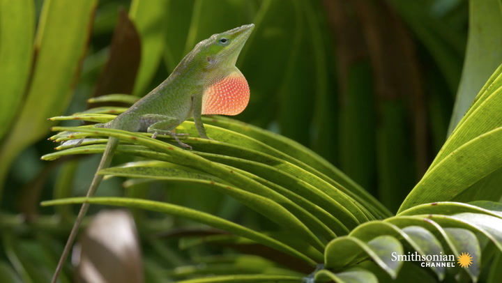 Image result for anole lizard Domenica