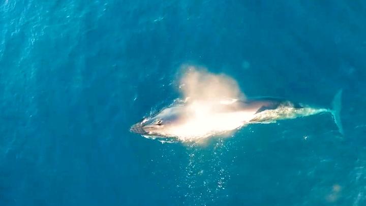 Utrydningstruet hval overrasket forskere med gladnyhet