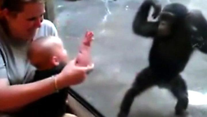 Sjimpanse og baby sjarmerer alle