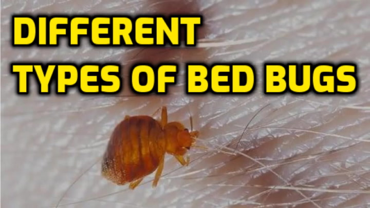 What Are The Different Types Of Bed Bugs Bed Bugs Insider