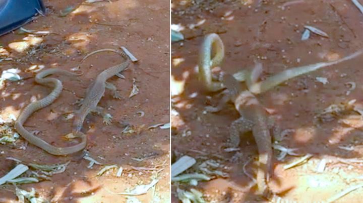 Giftig slange har ikke nubbesjans i nådeløs dødskamp
