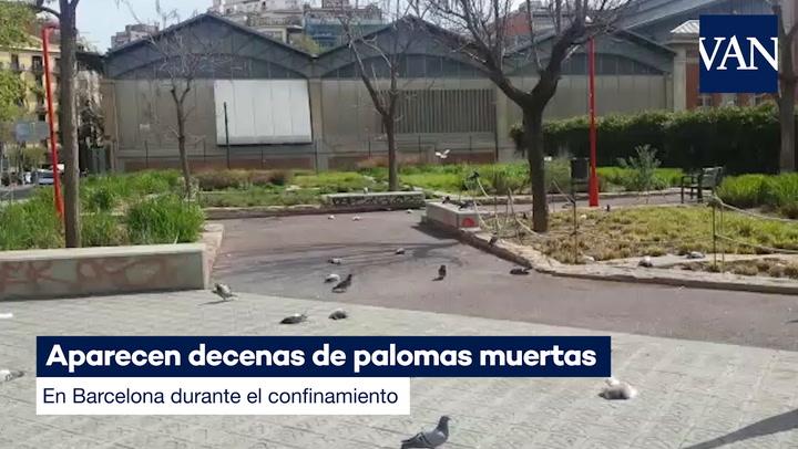 Aparecen decenas de palomas muertas en Barcelona durante el confinamiento