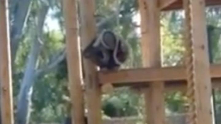 Ape «henger seg selv» for å få publikum til å le