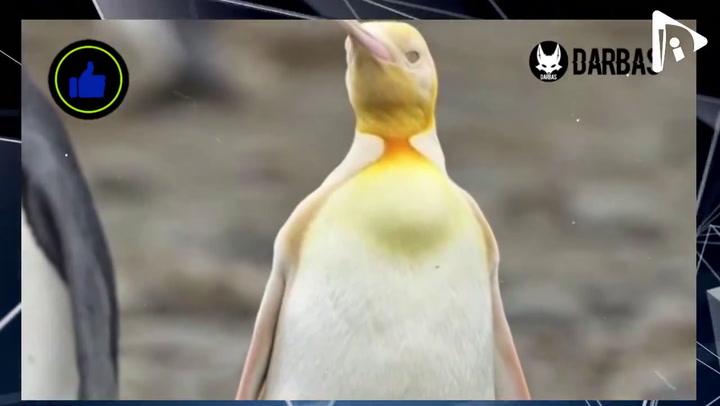 Aparece un pingüino amarillo en las islas Georgias del Sur