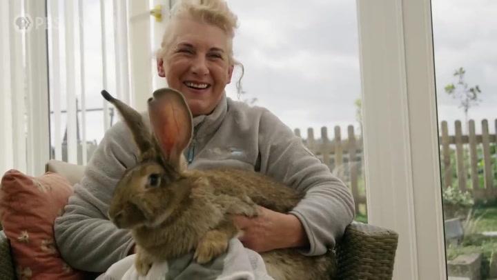 Roban en Inglaterra el conejo más grande del mundo....¡de 1,29 metros!