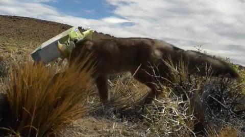 Salvó a un zorro de morir asfixiado en una caja de vino