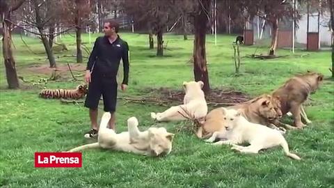 Un tigre salva a hombre de morir en garras de un leopardo