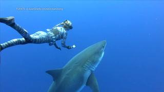 Buzos nadan con gigantesco tiburón blanco en Hawái