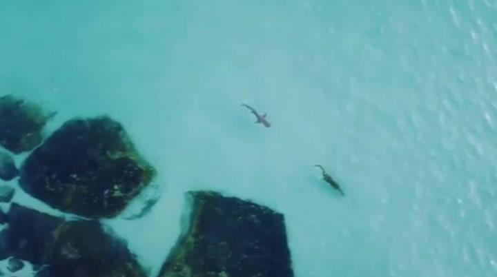 Interminable persecución de un tiburón a un cocodrilo