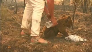 Mujer arriesga su vida para rescatar a koala de un incendio