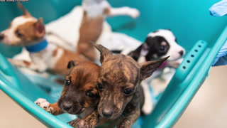 Las Vegas Animal Foundation treating abused puppies