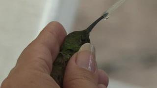México, pionero en Latinoamérica en la conservación de colibríes