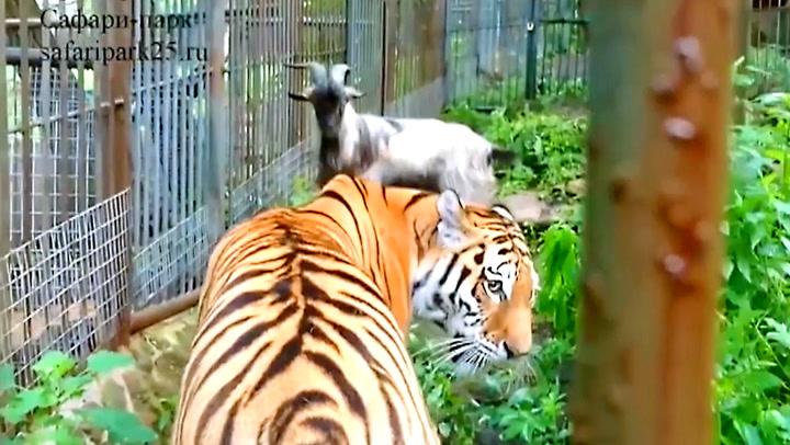 Geita er dyreparkens siste, desperate forsøk