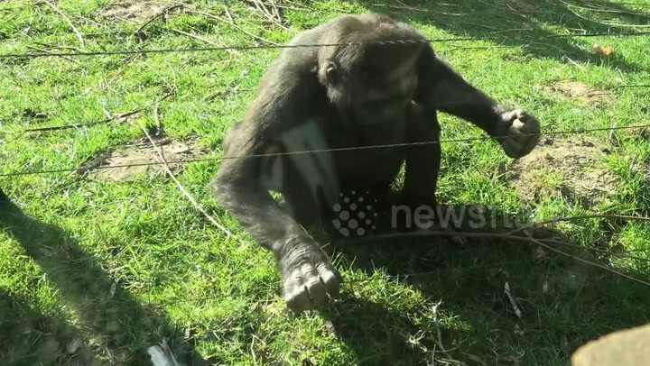 Gorilla Figures Out How To Get Through An Electric Fence, Starts Banging On Zoo Window