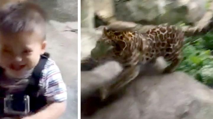 Leoparden bykser mot guttungen – han bryr seg ikke
