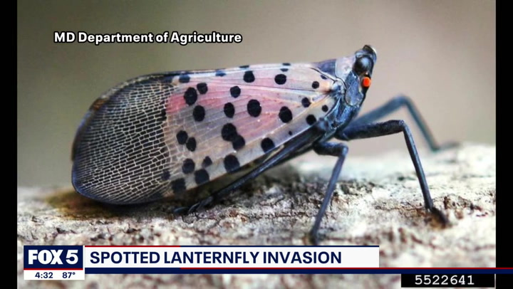 Spotted lanternfly infestation causing concerns for Virginia vineyards