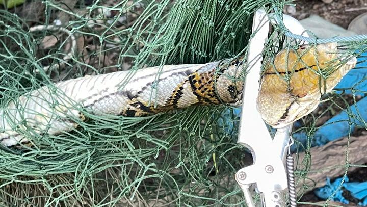 สิ้นฤทธิ์ งูเหลือม 4 เมตร ติดตาข่ายดักรอบเล้าไก่ ต้องแจ้งกู้ภัยช่วยแกะ