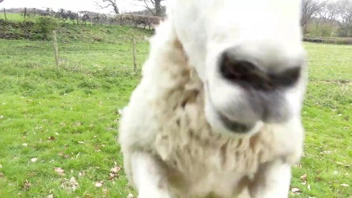 Una oveja se niega a ser vigilada y deja KO a un dron de pastoreo