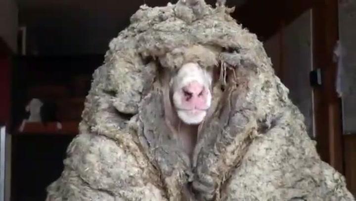 Hallan una oveja con más de 35 kilos de lana con un aspecto irreconocible