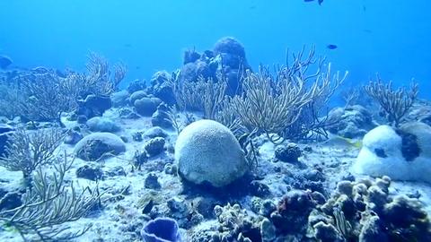 Una rara enfermedad amenaza los corales del Caribe