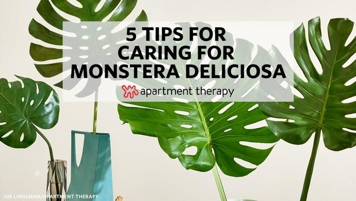 5 Tips for Caring for Monstera Deliciosa Dogs Adn Monstera Deliciosa House Plant on