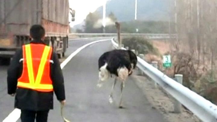 Struts i kappløp med lastebil på motorveien