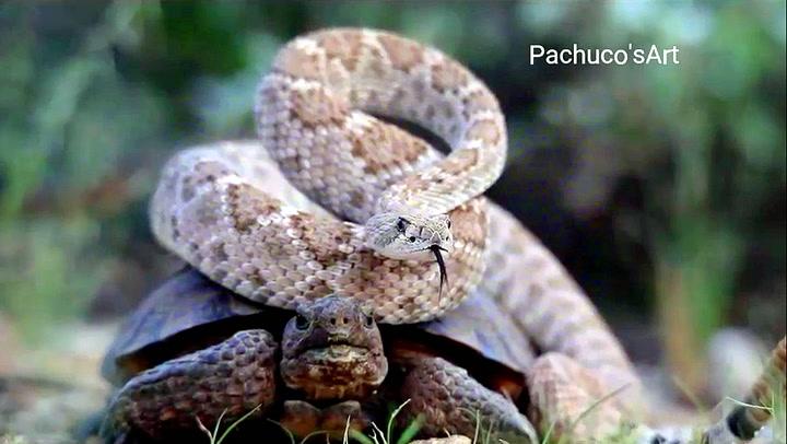 Hørt om klapperslangen som haiket med skilpadda?