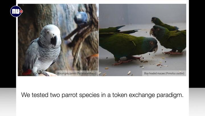Onderzoekers: papegaaien zijn superbehulpzaam