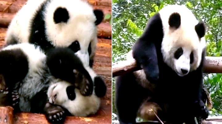 Få en overdose sukkersøtt med disse pandaene