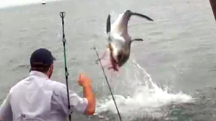 Her stjeler hvithaien fiskernes fangst